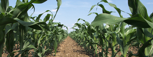 managing herbicide resistance in corn fields