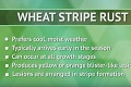 Identifying Stripe Rust in Wheat