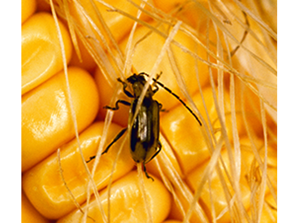 The adult Northern corn rootworm first appears as a tan-colored beetle, but it turns green as it matures. Females are typically larger. (c) AgStock Images/Scott Sinklier.