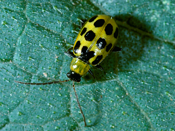 Sometimes called the spotted cucumber beetle, Southern corn rootworms are particularly damaging to corn in the South, where they will also feed on broadleaf hosts.  The yellow-to-green adult insect has 11–12 black spots on its bright green wings. (c) AgStock Images/Jack Clark.