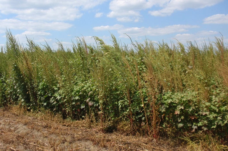 ALS herbicides remain valuable tools for weed management in cotton