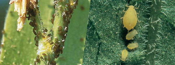 corn leaf aphids and soybean aphids