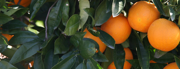 Citrus fruits barely visible beneath thick citrus tree foilage