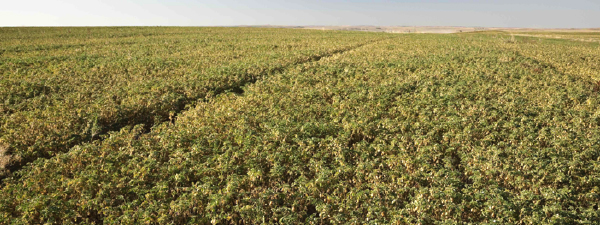 Field of mid-growth chickpeas