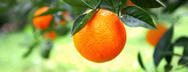 Wideshot of orange growing on a tree in a citrus grove