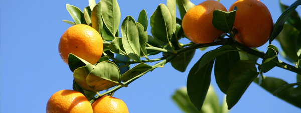 California red scale affects most of the state's citrus-growing regions