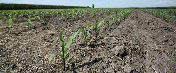 corn emerging in drought