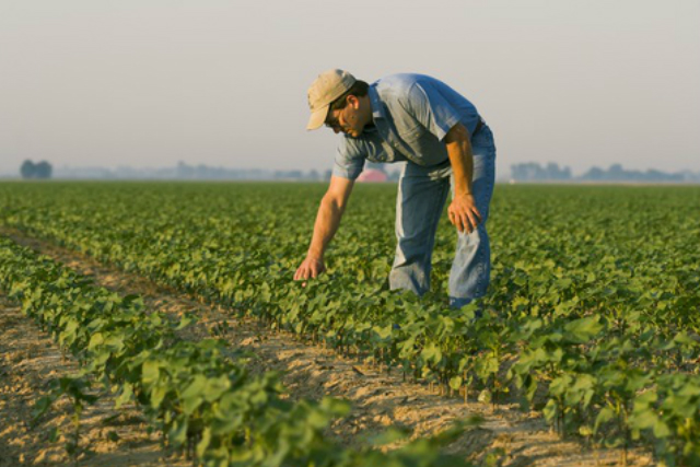 A crop consultant checks an early growth 8-10 leaf stage cotton in an Arkansas field for thrips and other early season pests. Photo courtesy of AgStock Images.