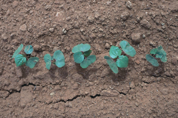 Cotton seed treatments can go a long way toward getting young seedlings off to a good start.