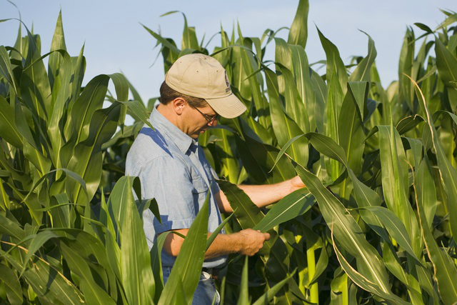 A crop consultant checks to confirm his corn field is healthy in Arkansas. No disease was found this day, but regular scouting for pests is an important part of field management. Photo courtesy of AgStock Images.