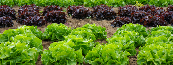 Year-round pest control in red and green lettuce crops
