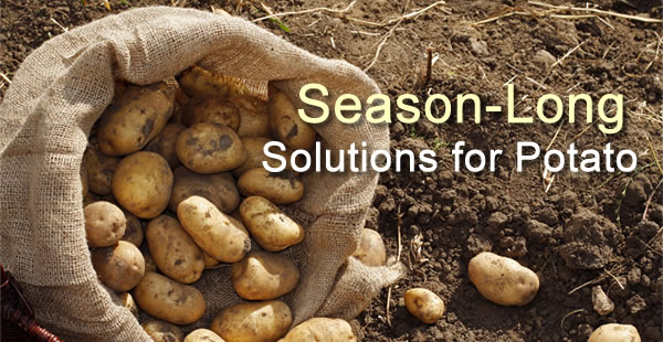 Season-long solutions for potato
