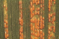 Stripe rust, also known as yellow rust, appears early in the season because it prefers cool, moist weather.