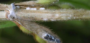 How to diagnose white mold image with close up of infected soybean stem