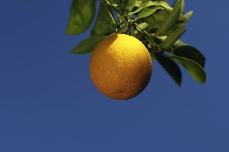 California Citrus Growers Face Existential Threat in HLB