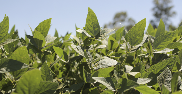 Prevent Yield Loss From Soybean Disease