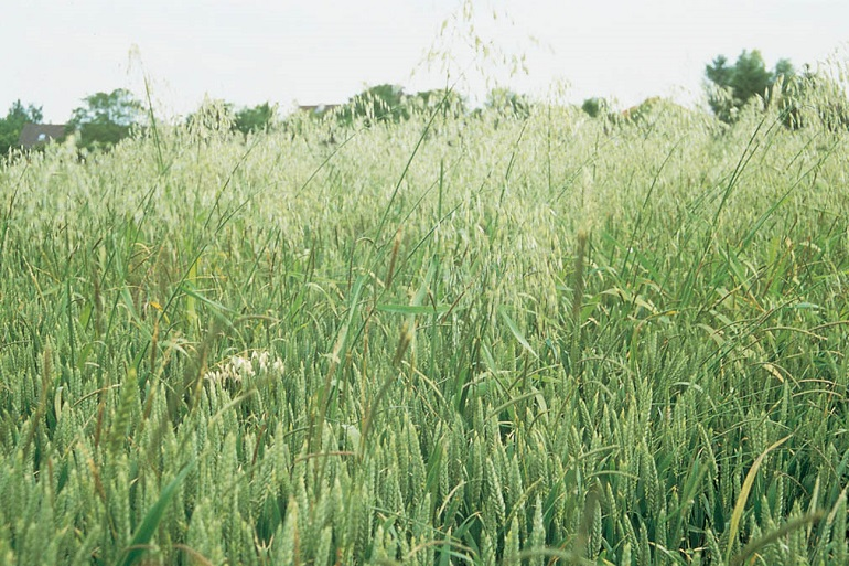Wild Oat in a cereal field