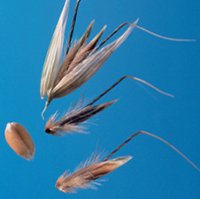 Wild oat seeds with a hairlike appendage from the back of the seed and prominent hairs at the base.