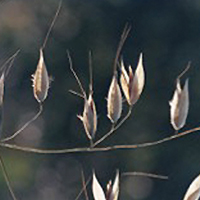 control wild oat populations with management best practices