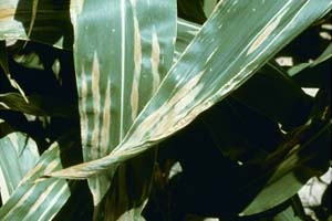 northern corn leaf blight is easily identified by the 1- to 6-inch cigar-shaped lesions on lower leaves