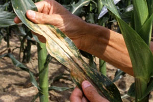 farmer holding corn leaf with symptoms of southern corn leaf blight