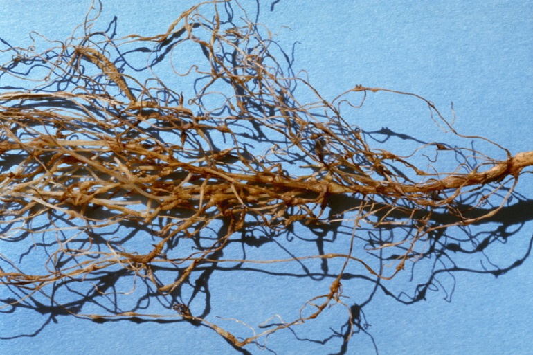 GALLED ROOT INFECTED WITH ROOT-KNOT NEMATODE (MELOIDOGYNE SPP.): Galls develop on cotton roots infected with root-knot nematode larvae, choking off available nutrients to the plant. Photo courtesy of AgStock Images/Harold Kaufman.