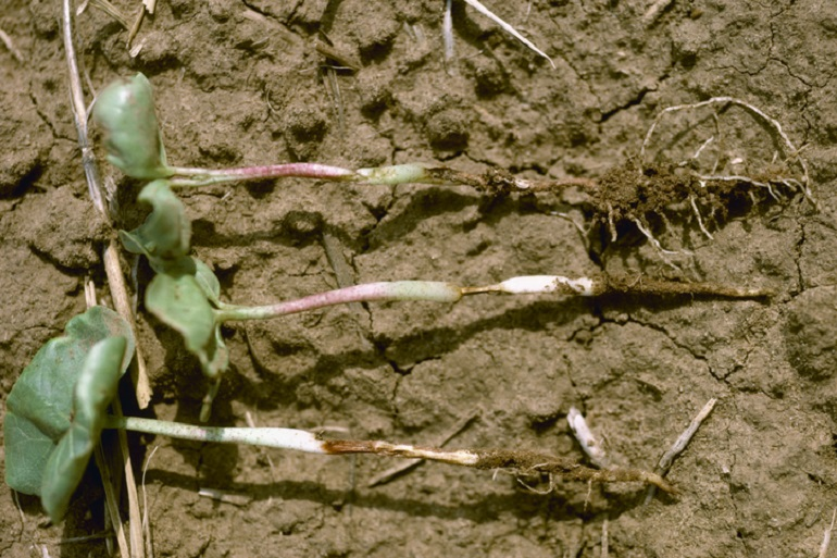 SORE SHIN (RHIZOCTONIA SOLANI): The main symptoms of infection from Rhizoctonia (soreshin) appear on the lower stem as sunken lesions, which are oval- to irregular-shaped and reddish brown. As with other cotton seedling diseases such as Pythium, Thielaviopsis and Fusarium, Rhizoctonia can slow cotton maturity up to a month and reduce annual yield. Photo courtesy of AgStock Images/Harold Kaufman.