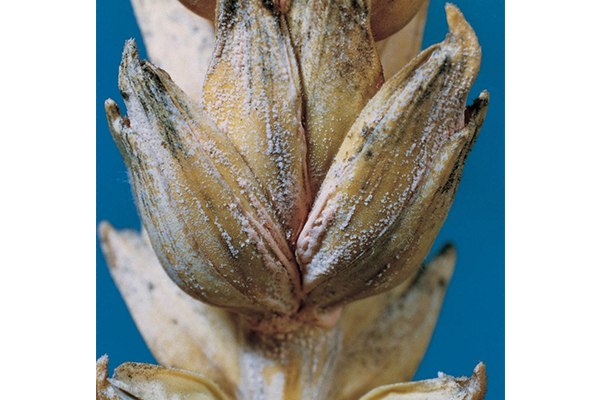 Fusarium head blight, also called head scab, first causes bleaching of the spikelets.
