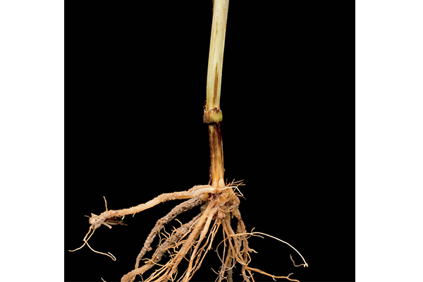 Vascular discoloration of root tissue is the main diagnostic symptom of Fusarium root rot.
