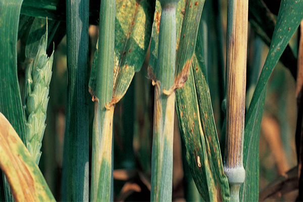 Stripe rust, also known as yellow rust, appears early in the season because it prefers cool, moist weather. It is possible for stripe rust to cause 100 percent crop loss in susceptible varieties if the disease begins early in the season under wet, cool conditions.
