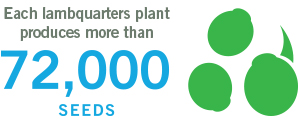 each lambsquarters plant produces more than 72000 seeds