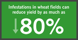infestations in wheat fiels can reduce yield by as much as eighty percent