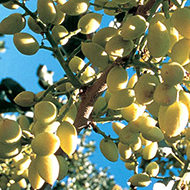 Late blight threat in pistachios view of affected branches