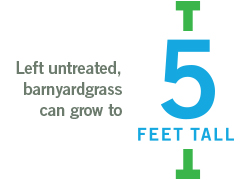 left untreated baryardgrass can grow to 5 feet tall