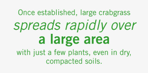 once established large crabgrass spreads rapidly over a large area