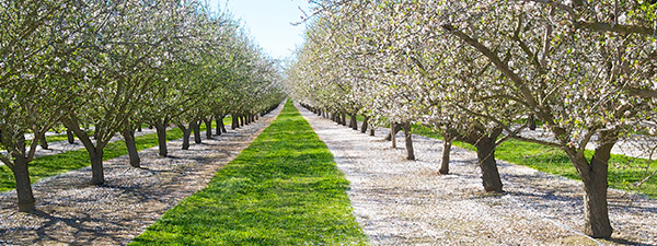 promote root health in almond trees ground level view of orchard