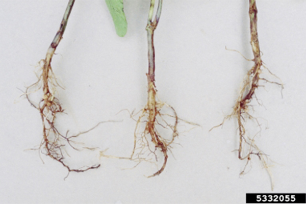 RHIZOCTONIA: Rhizoctonia causes seed decay and brownish-red lesions on seedling stems and roots. Photo courtesy of Mary Ann Hansen, Organization: Virginia Polytechnic Institute and State University,