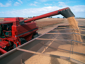image shows soybean harvest into hopper