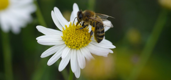 Honey bee pollinating white flower
