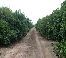 Citrus trees treated with Alion Herbicide
