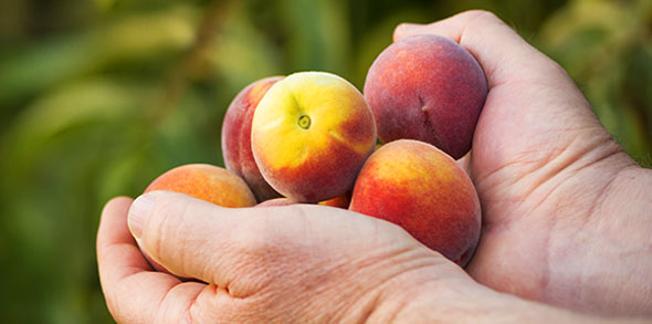 Farmer's hands holding ripe peaches