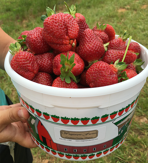 U-pick strawberry basket at Wegmeyer Farms, Virginia