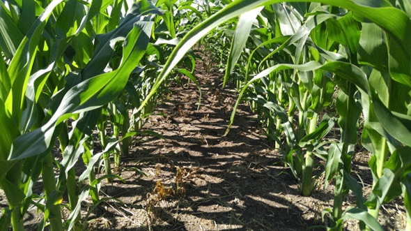 Reinbeck, Iowa, corn clean rows after post-emergence herbicide