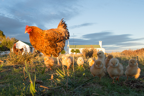 Chicken with baby chicks on farm