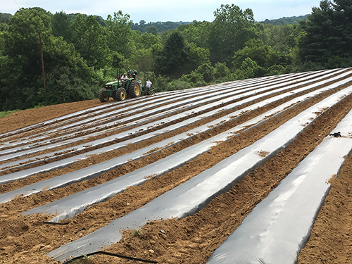 Strawberry planting in Virginia