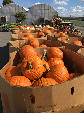 Pumpkins harvested