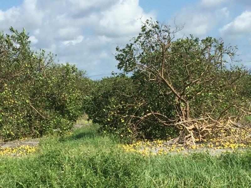 Some of the worst damage to Vic's farms in southwest Florida.