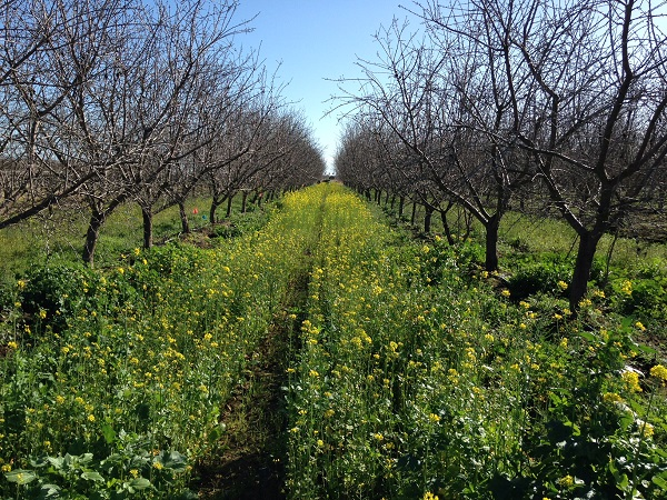 Bayer Almond Cover Crop