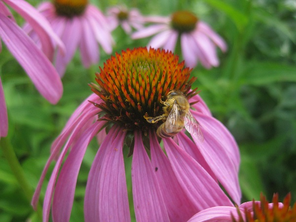 honey bee on purple corn flower