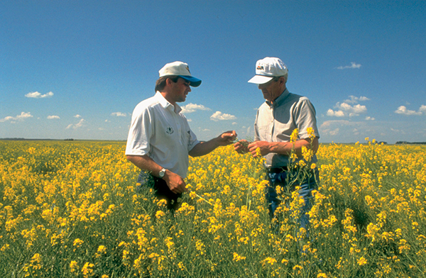 Canola growers working to help pollinators
